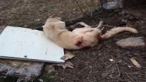 Tüfekle Vurulan Köpek Hayatını Kaybetti