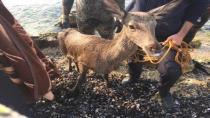 Köpekten korkan geyik denize atladı