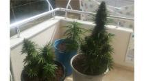 Gebze'de balkona kenevir eken şahıs yakalandı